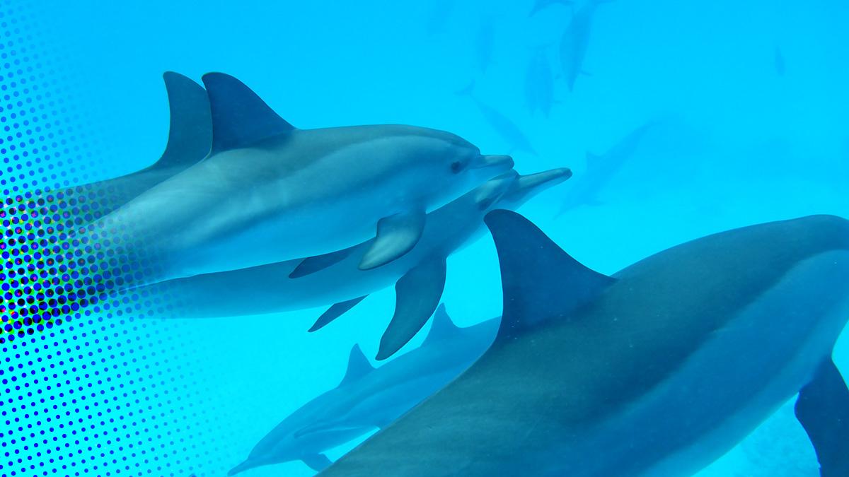Zwemmen met de dolfijnen in de Rode Zee (vervolg + video)